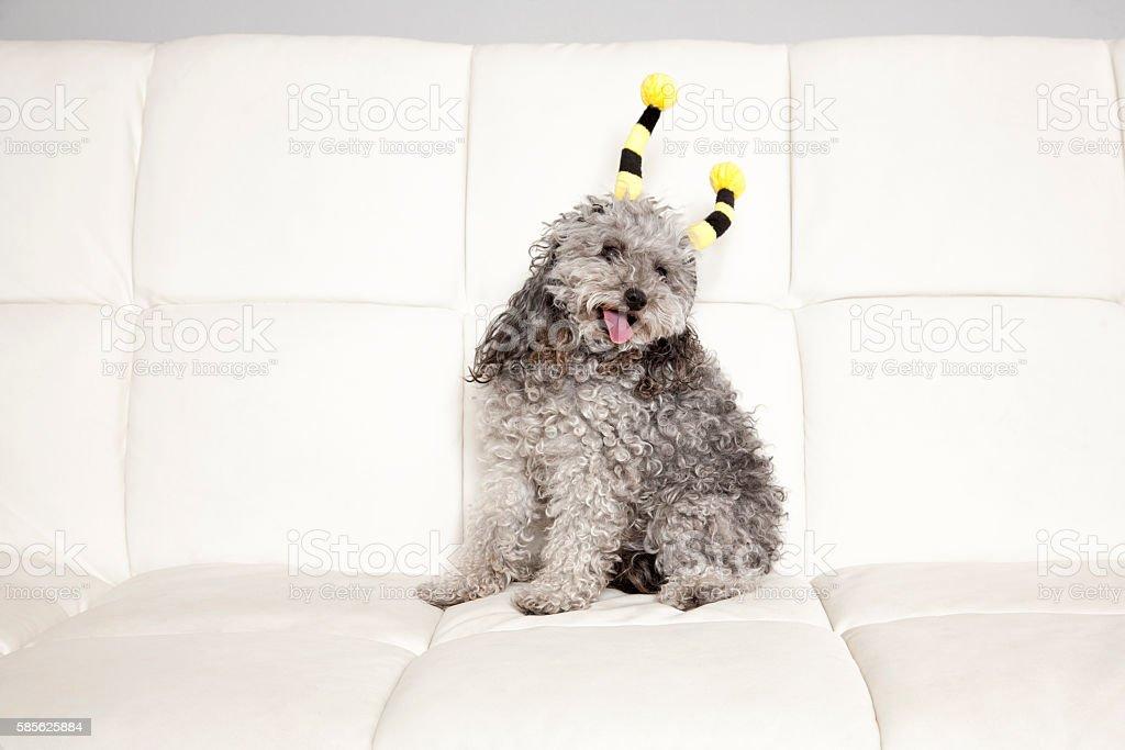 Poodle Bee stock photo
