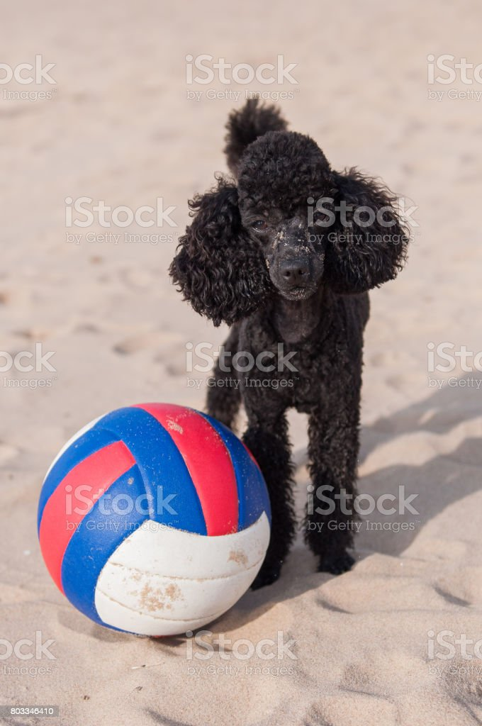 Poodle dog and ball on the beach stock photo