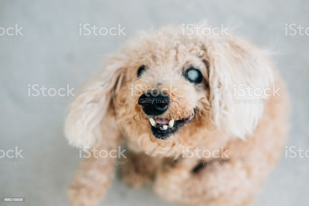 Poodle dog focused at his nose stock photo