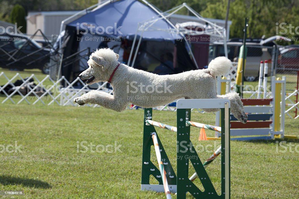 Poodle Dog Running, Jumping Over Double Jump in Agility Competition royalty-free stock photo