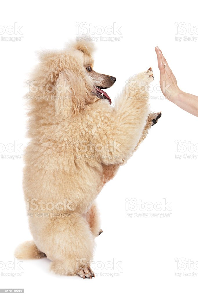 poodle doing a high five trick stock photo