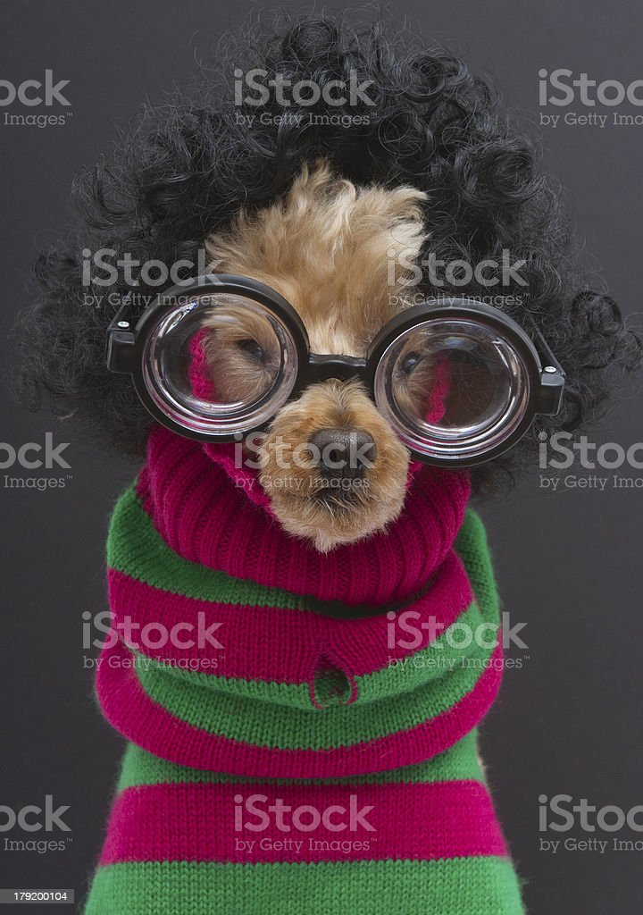 Poodle in Christmas Sweater and Glasses royalty-free stock photo