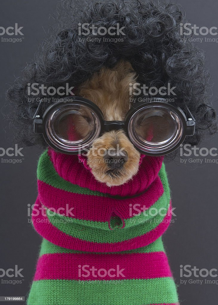 Poodle in Curls, Glasses, Christmas Stripes royalty-free stock photo