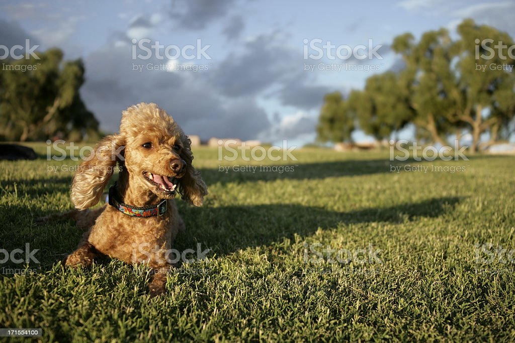 Poodle in Grass royalty-free stock photo