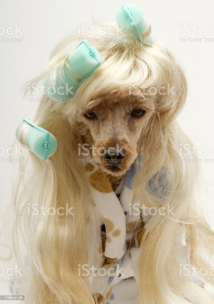 Poodle In Green Curlers royalty-free stock photo