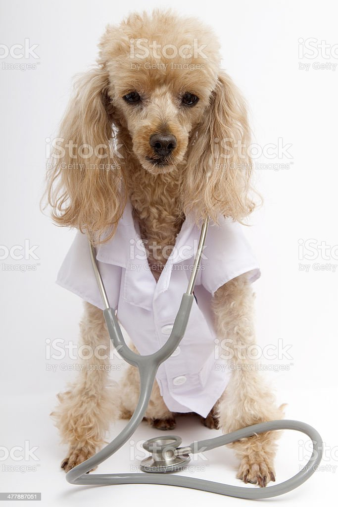 Poodle in Lab Coat and Stethoscope royalty-free stock photo