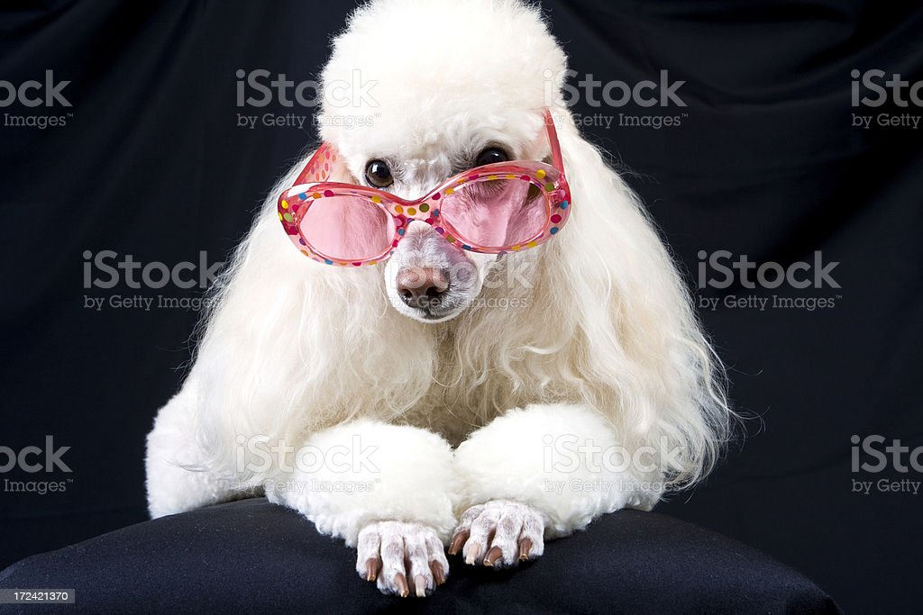 Poodle in Pink Polka-Dot Glasses royalty-free stock photo