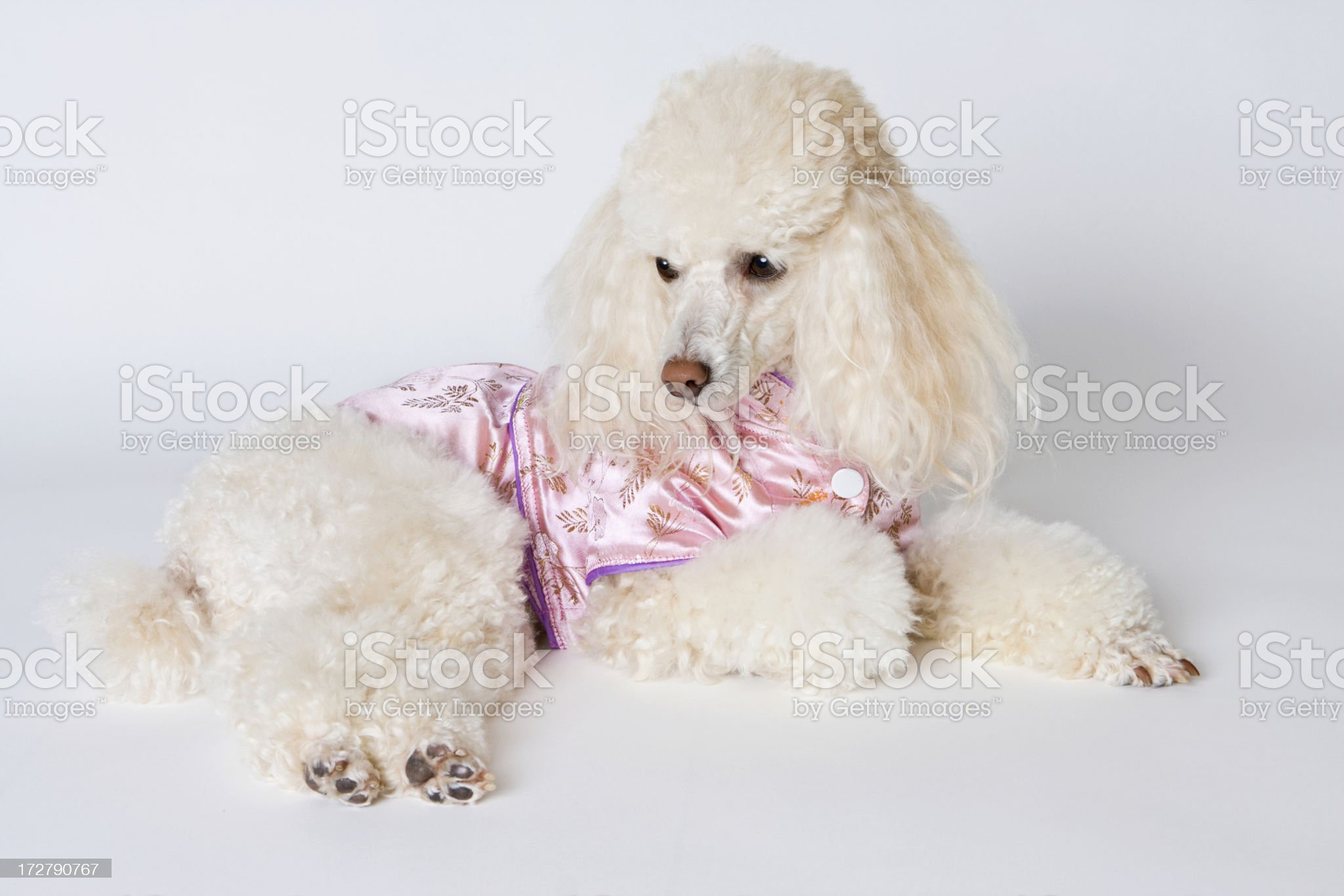 Poodle in Pink Silk Oriental Style Dress royalty-free stock photo