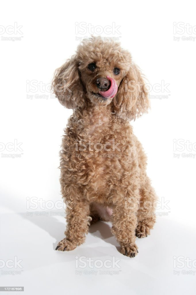 Poodle Lick 3 royalty-free stock photo