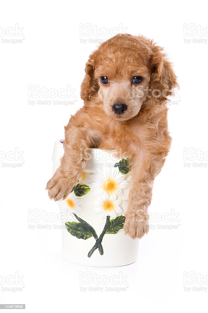 Poodle Medium puppy royalty-free stock photo