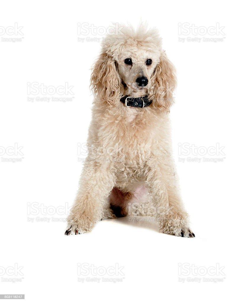 Poodle on white background stock photo