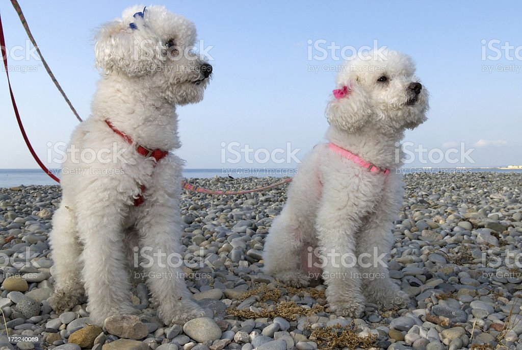 poodle royalty-free stock photo
