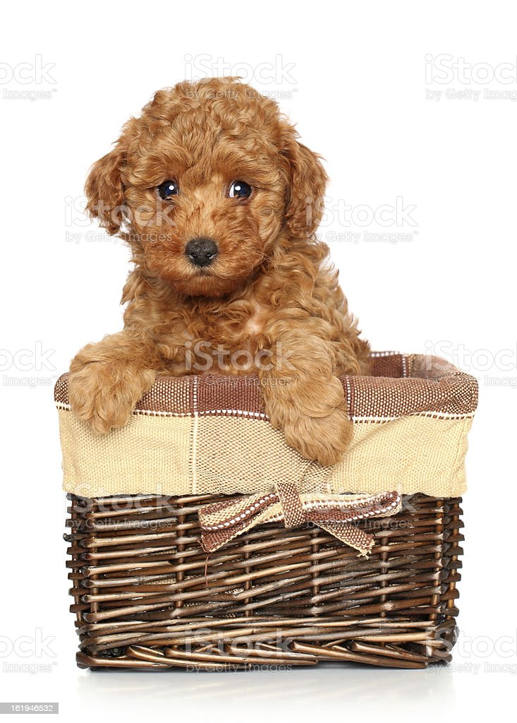 Poodle puppy in basket stock photo