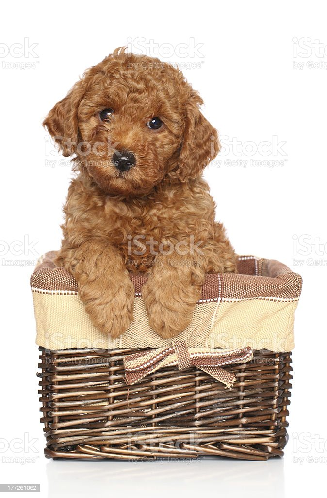 Poodle puppy on a white background stock photo