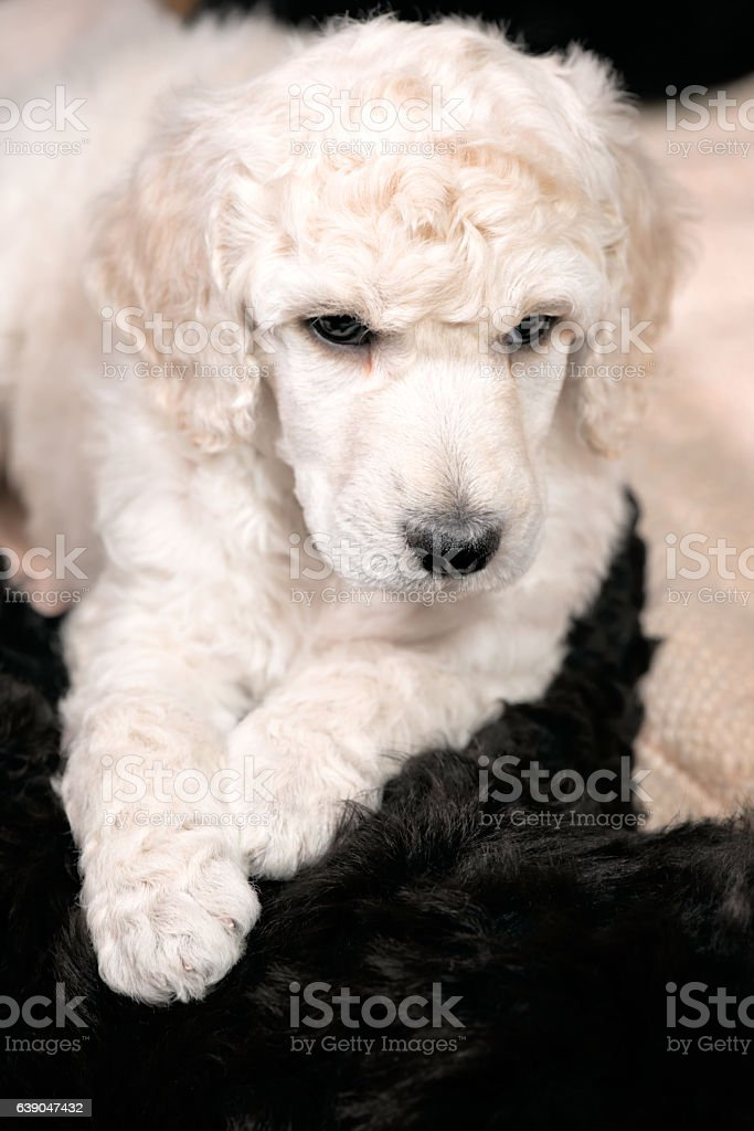 Poodle Puppy With Curly White Hair, Cute Dog stock photo