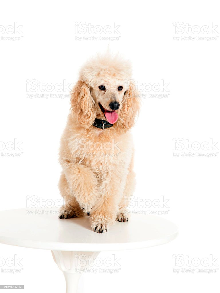 Poodle sitting on the table stock photo