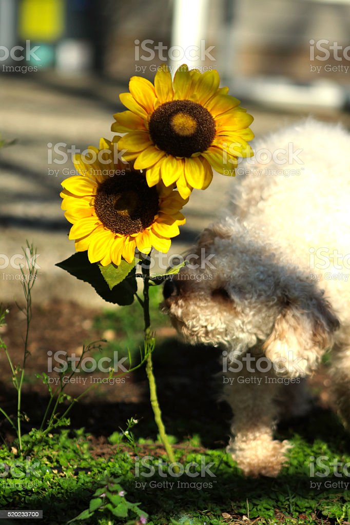 Poodle Smelling a Sunflower royalty-free stock photo