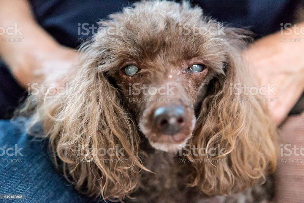 Poodle with cataracts on both eyes stock photo