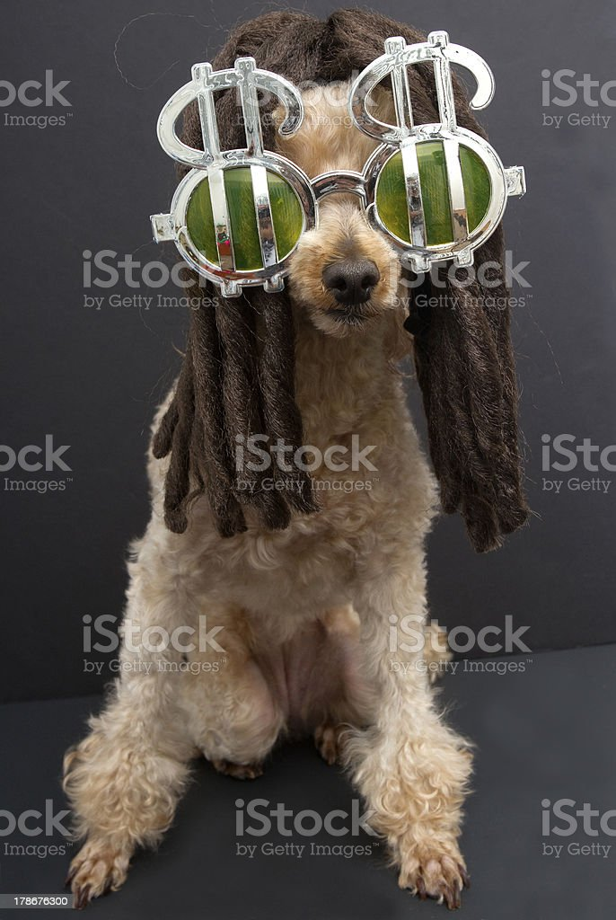Poodle with Dreads and Dollar Sign Sunglasses royalty-free stock photo