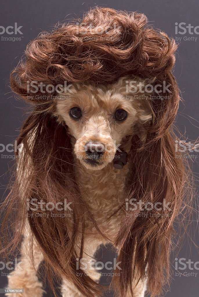 Poodle with Mullet stock photo