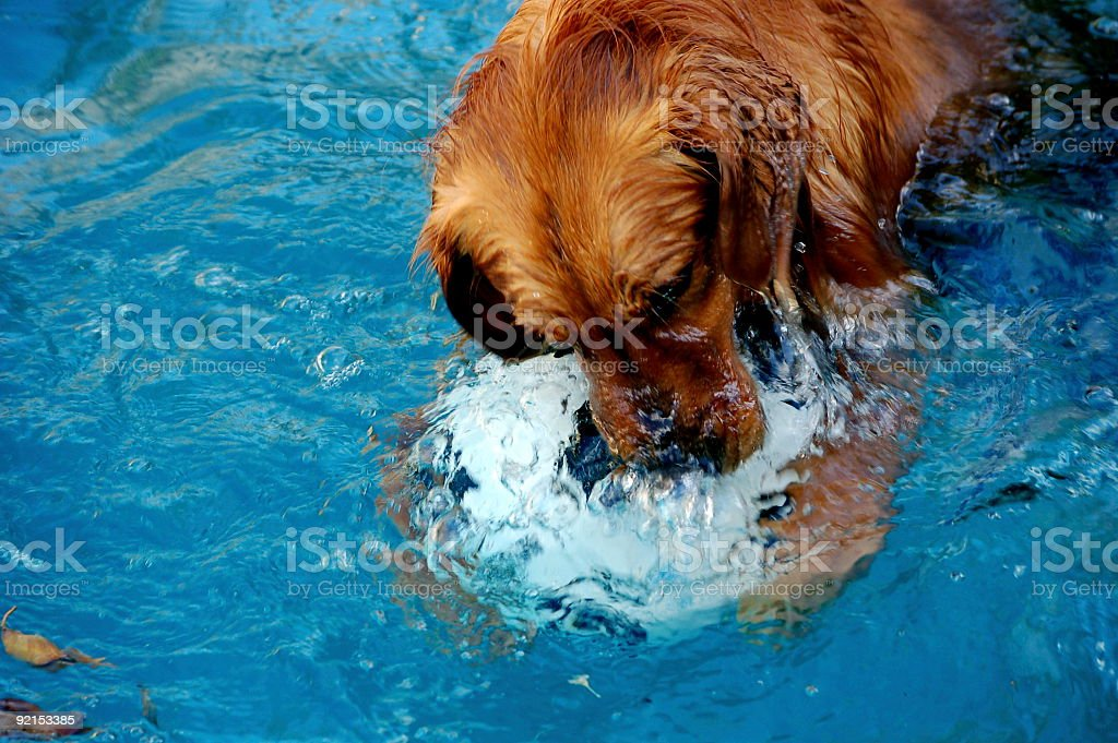 Pool Dog 2 royalty-free stock photo