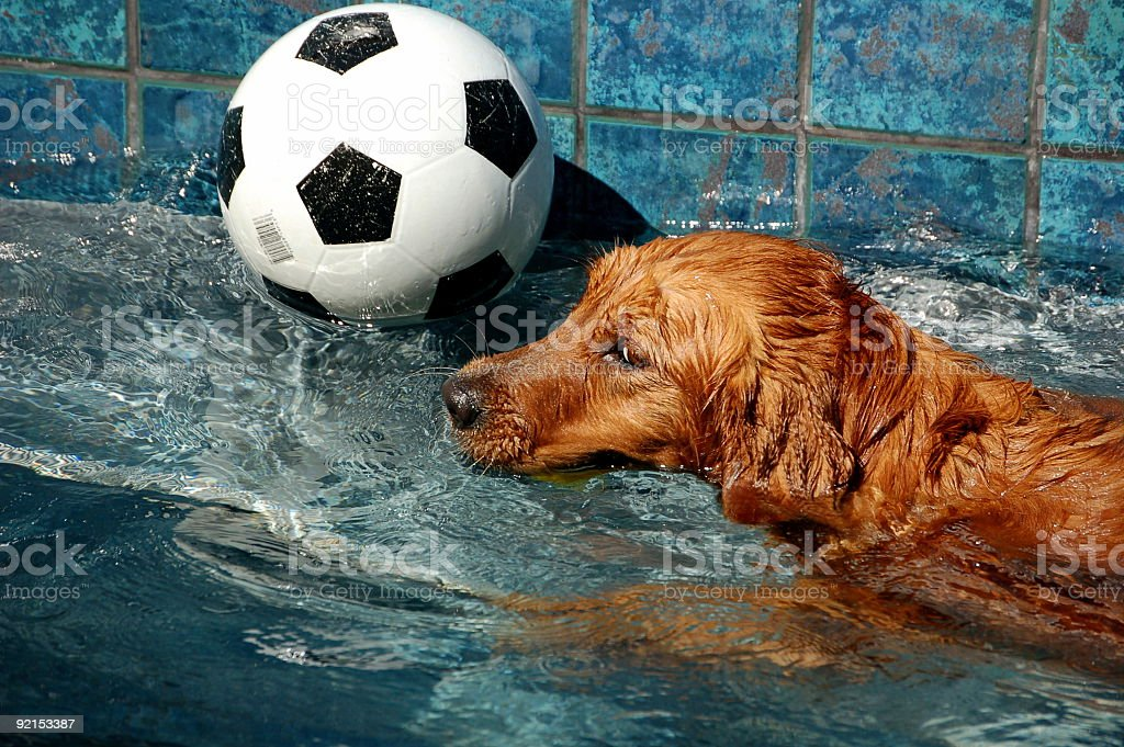 Pool Dog 3 royalty-free stock photo