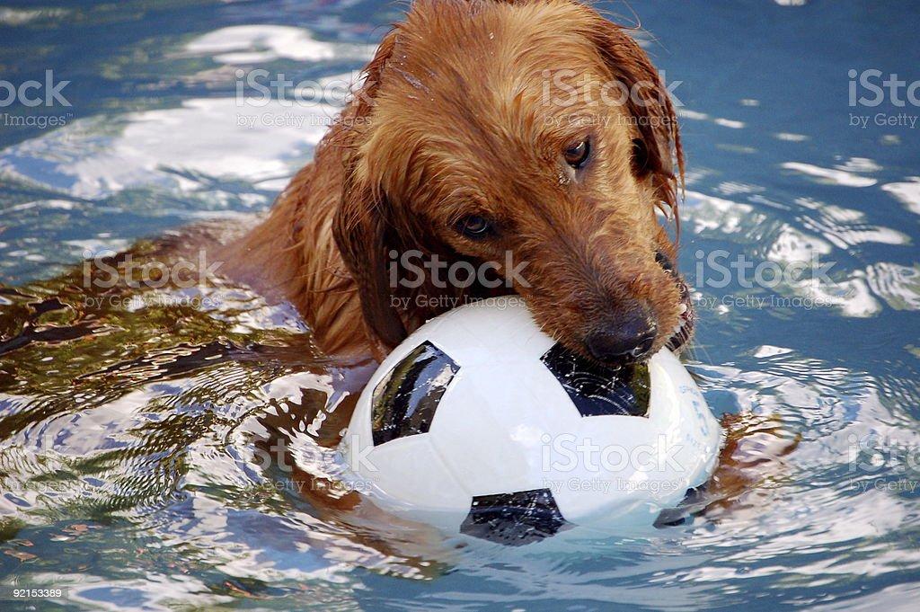 Pool Dog 4 royalty-free stock photo