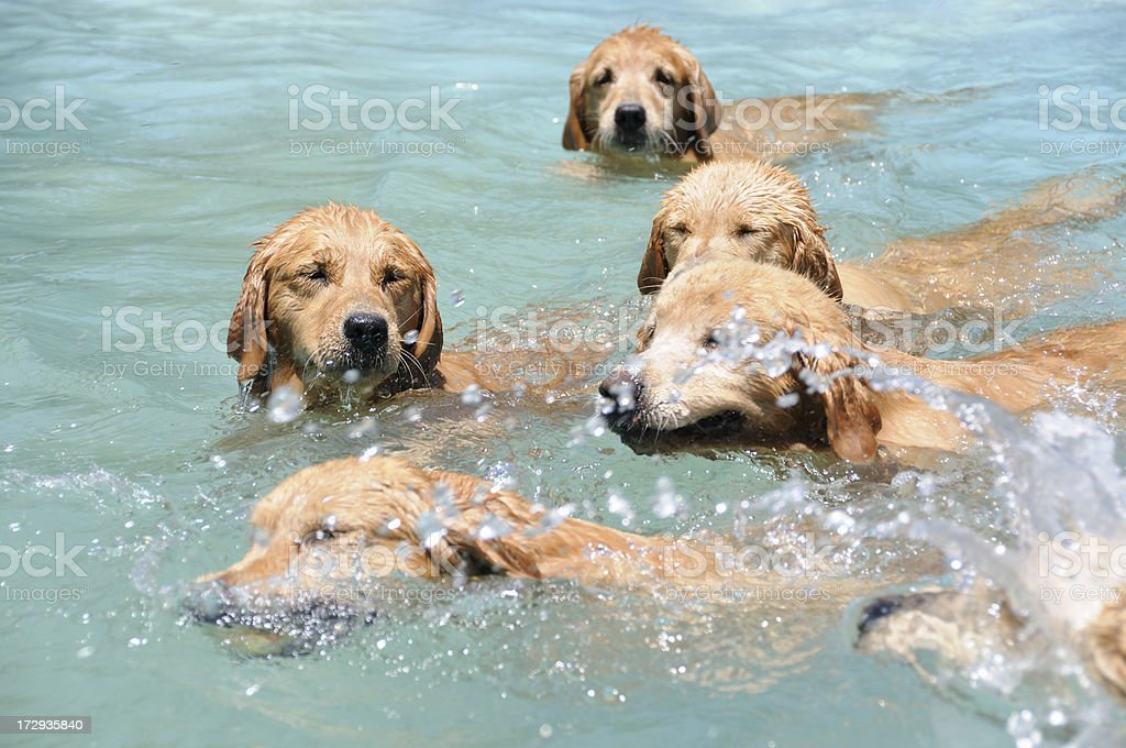 Pool Dogs royalty-free stock photo
