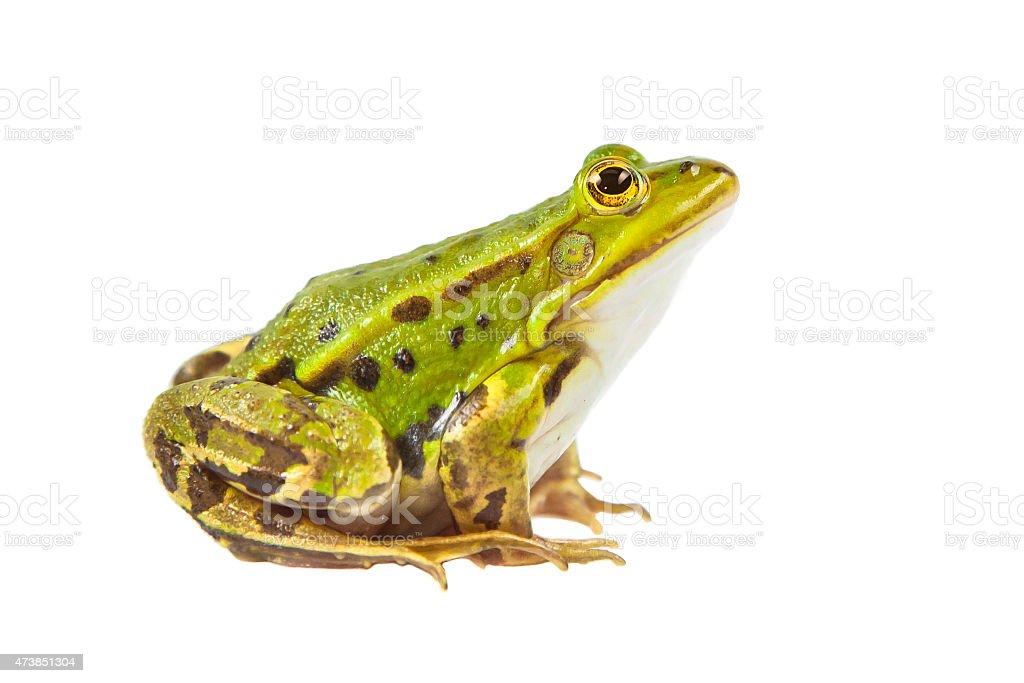 Pool frog male stock photo