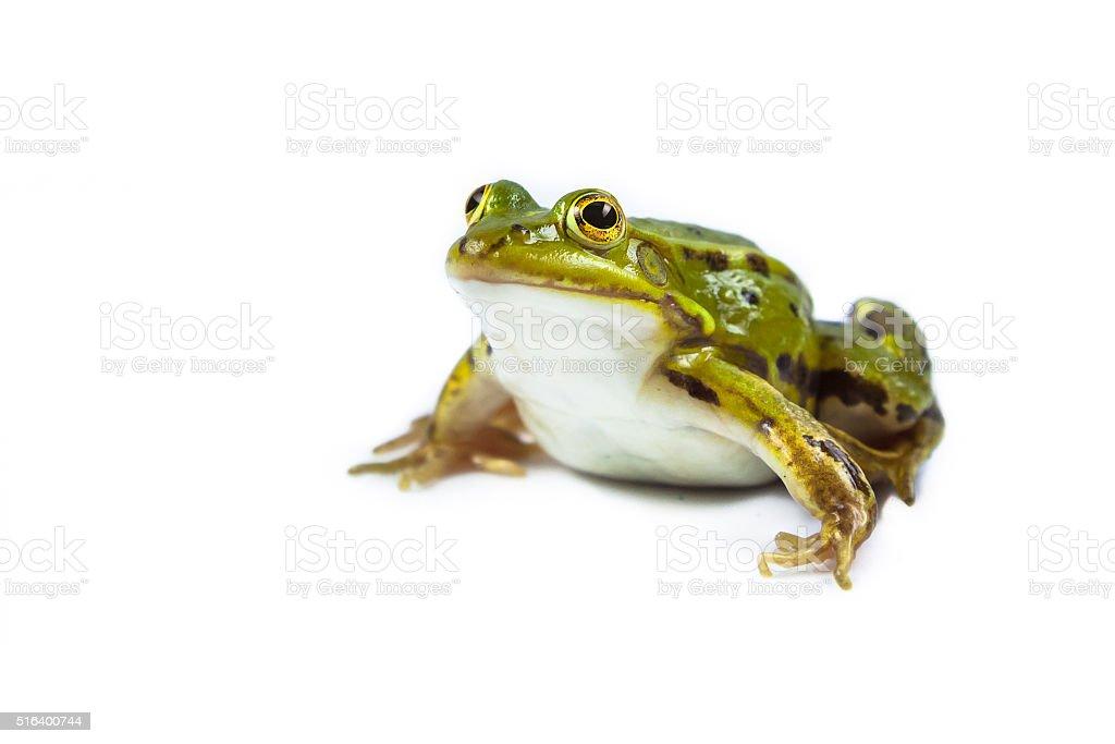 Pool frog on white stock photo