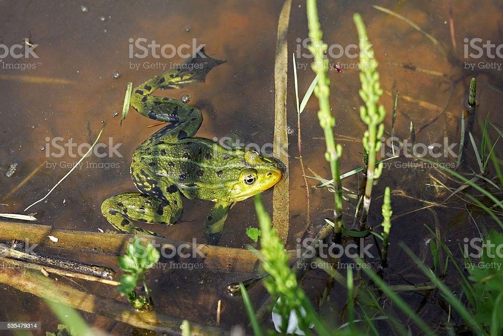 Pool frog (Pelophylax lessonae) stock photo