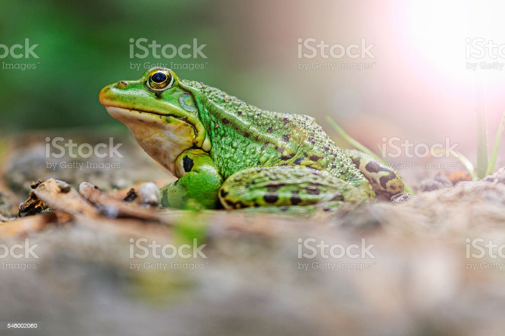 Pool frog portrait with sunny hotspot stock photo