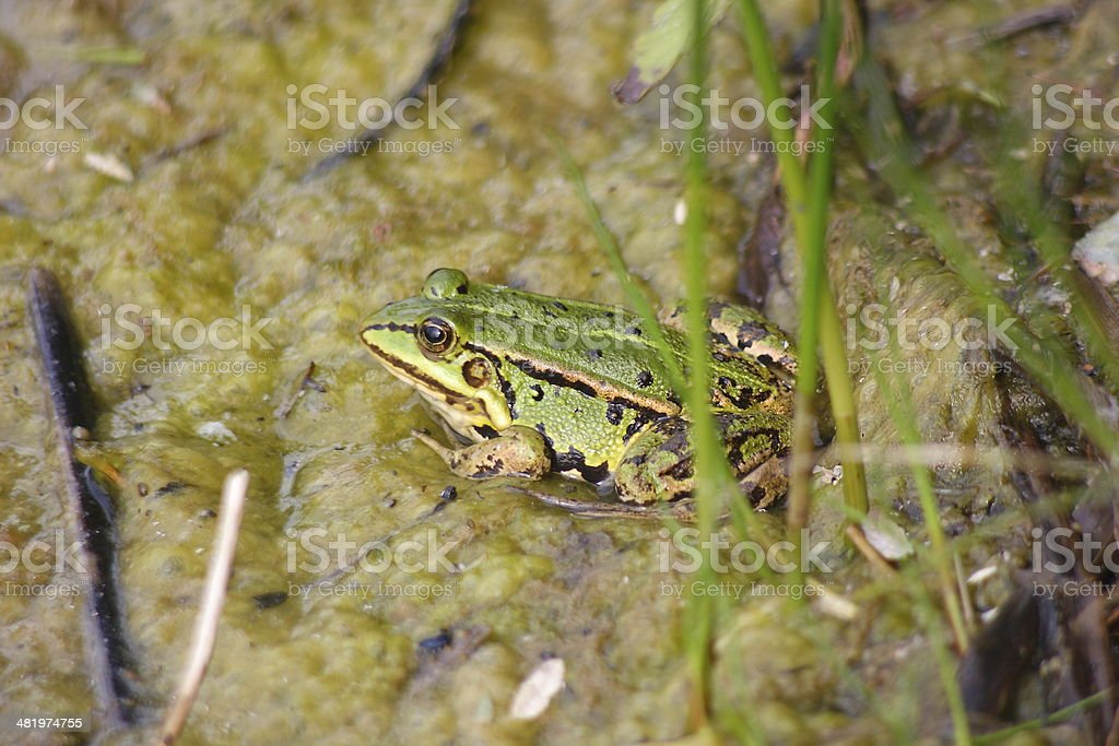 Pool frog Rana lessonae stock photo