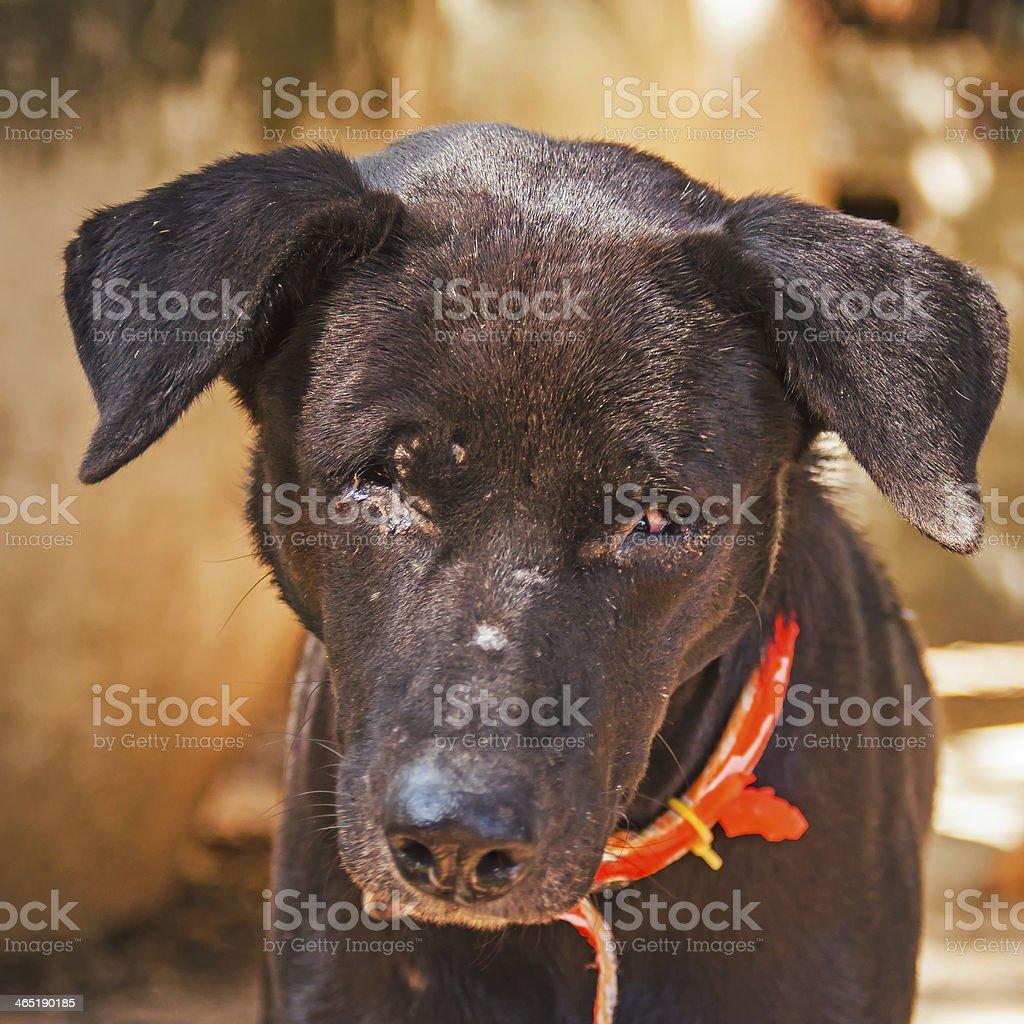 poor blind black dog stock photo