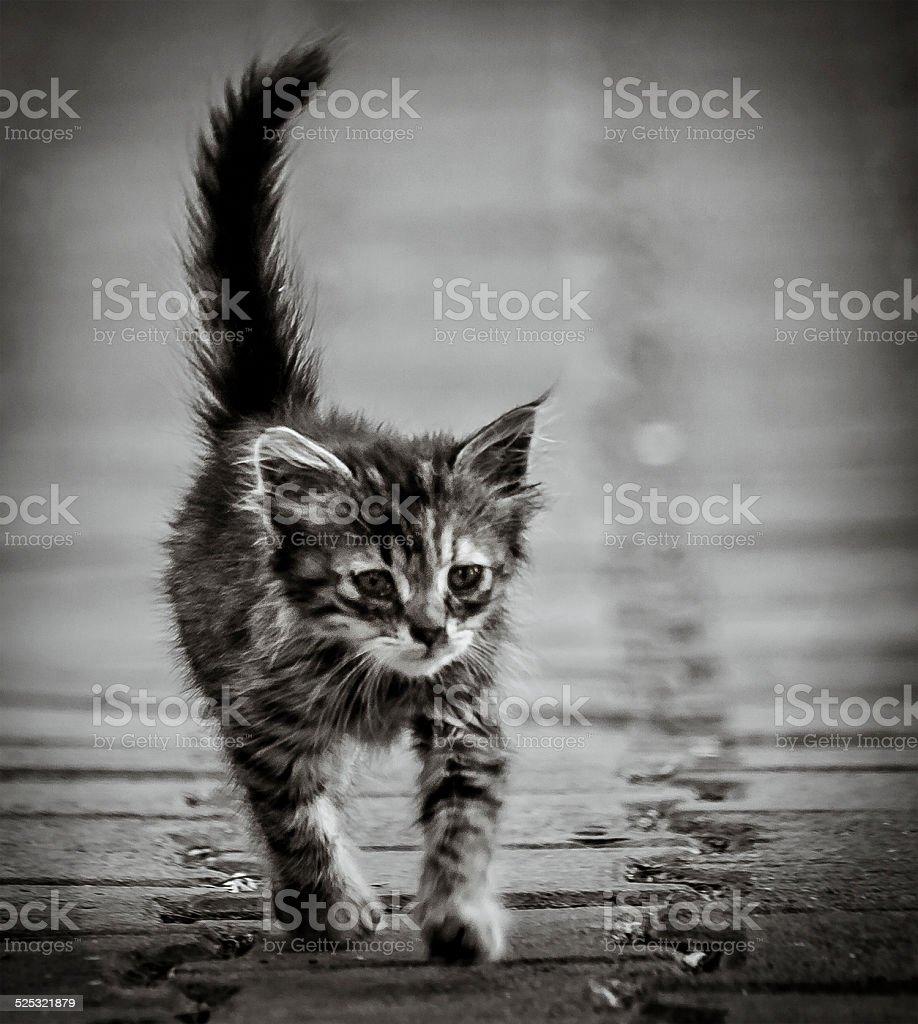 Poor Kitten royalty-free stock photo