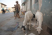 Poor man passes by grazing goats on street, Harar, Ethiopia.