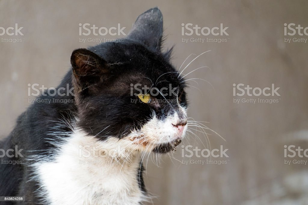Poor shabby black-and-white cat with gaunt eyes stock photo