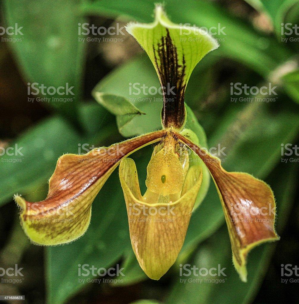 Pophiopedilum villosum (endemic plants) royalty-free stock photo