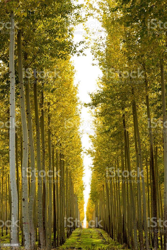 Poplar Aspen Tree Farm stock photo