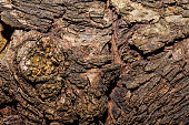 Poplar bark background.