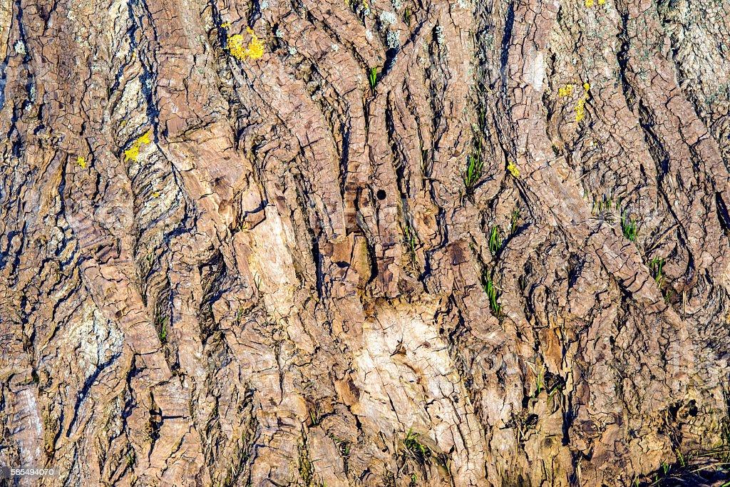 Poplar bark stock photo