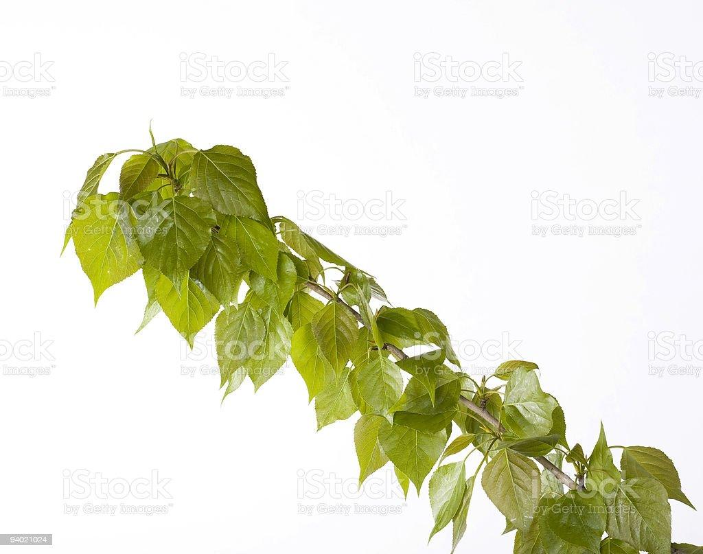 Poplar branch on white background royalty-free stock photo
