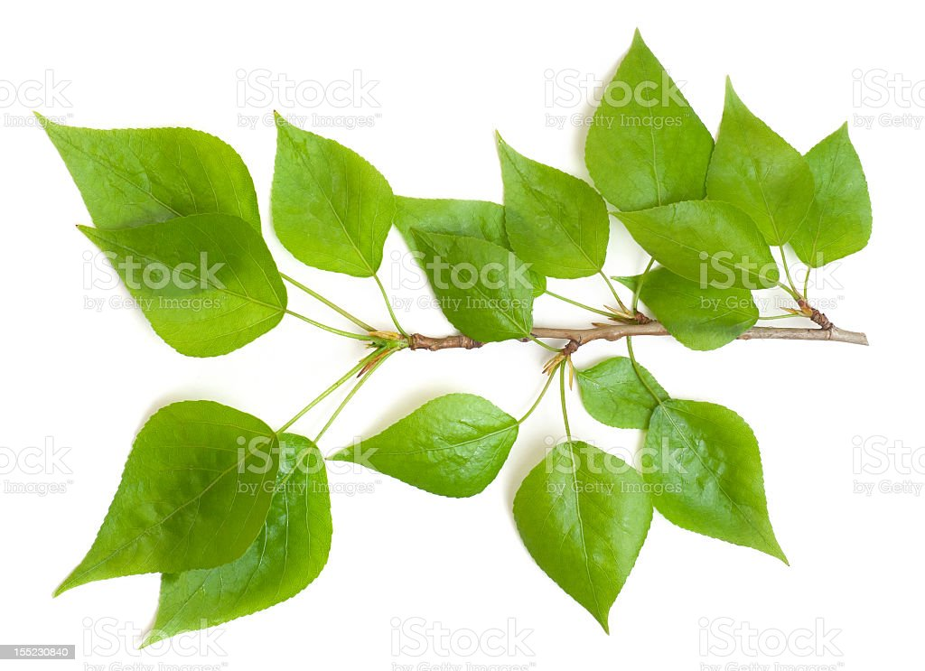 poplar branch royalty-free stock photo