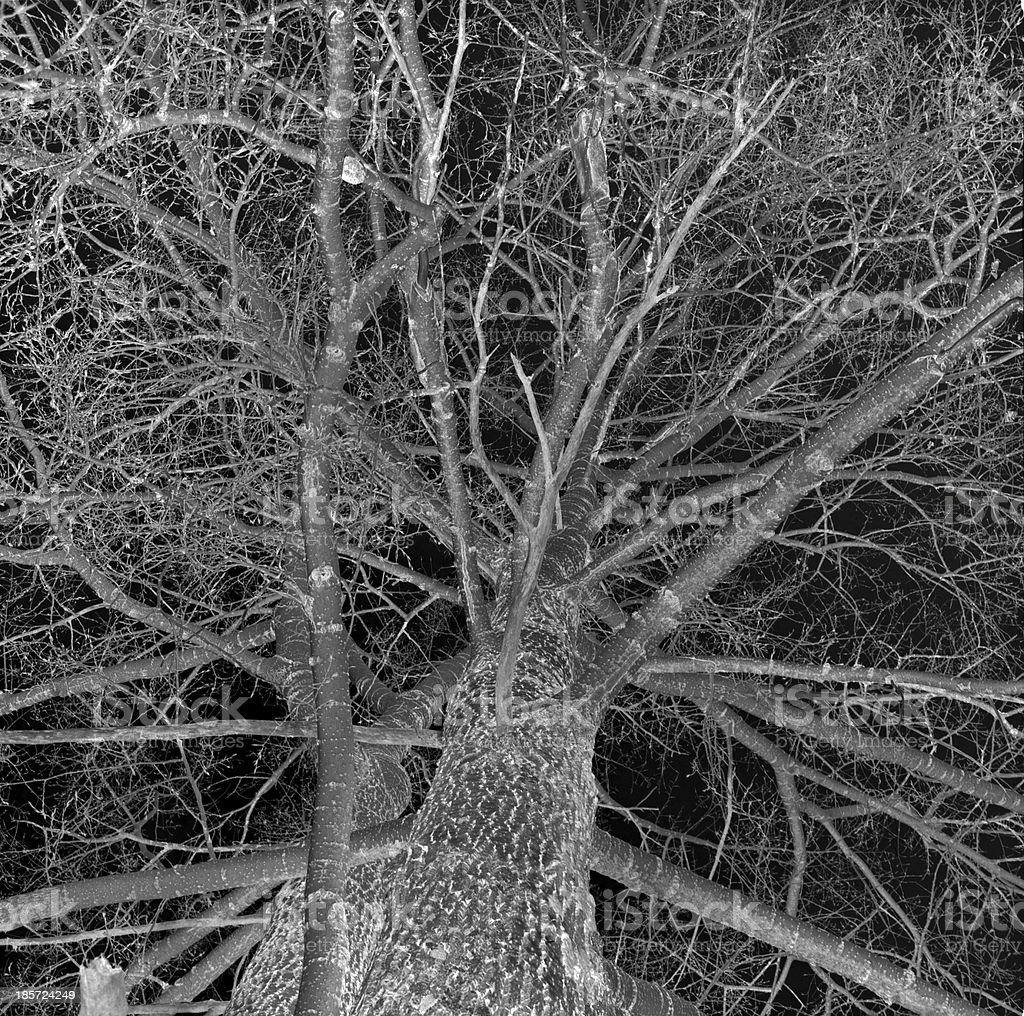 Poplar branches at night royalty-free stock photo