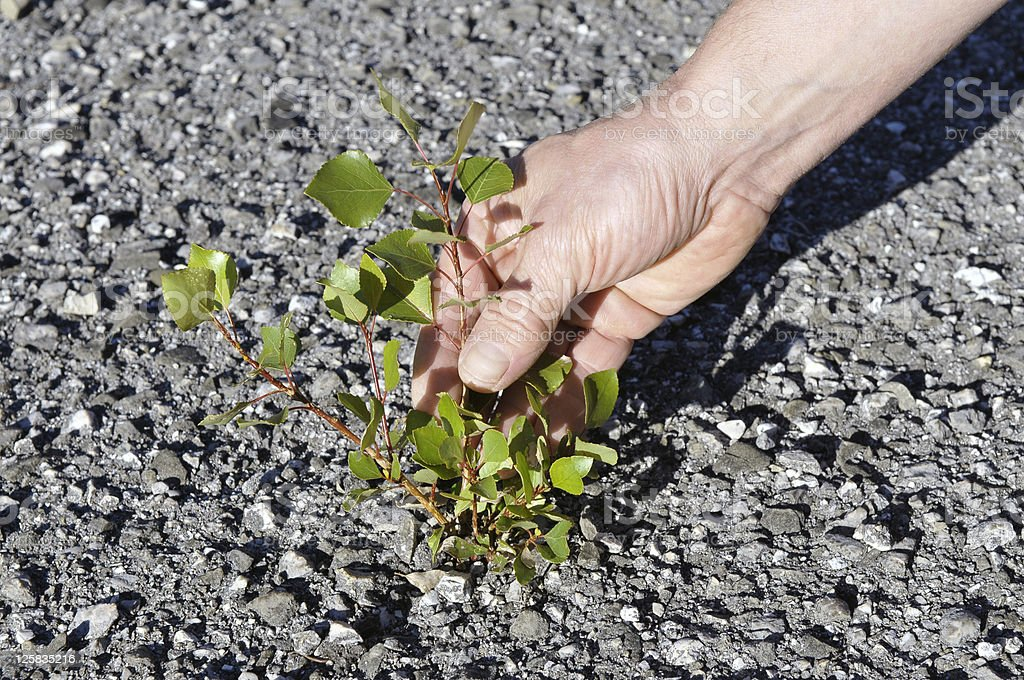 Poplar Fighting for Survival on Road stock photo