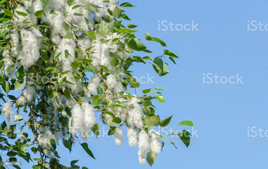 Poplar fluff on the flowering branches stock photo