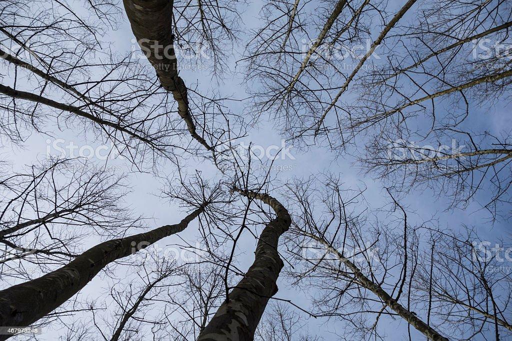 Poplar Forest seen from below. stock photo