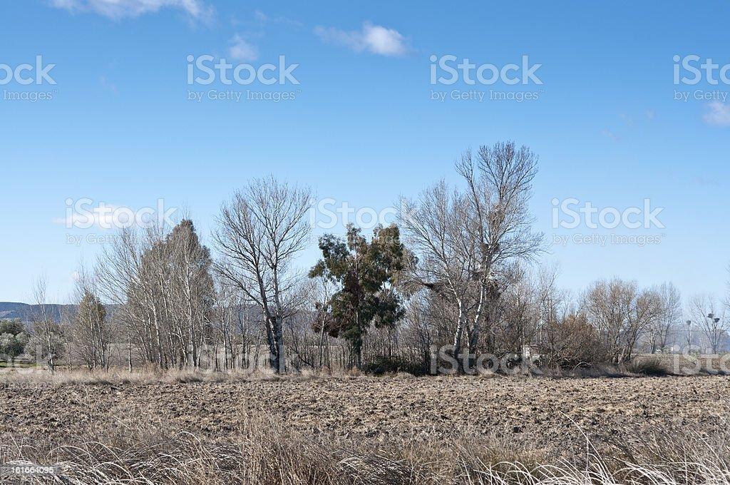Poplar grove royalty-free stock photo