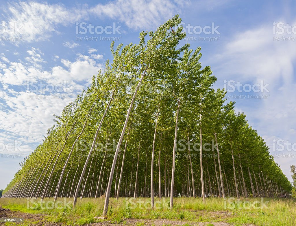 Poplar grove stock photo