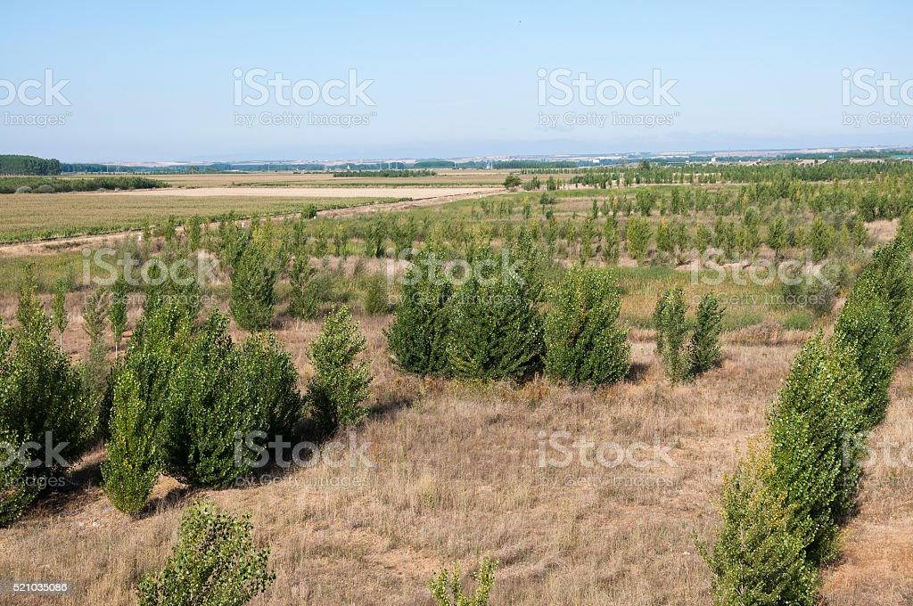 Poplar groves and cornfields stock photo